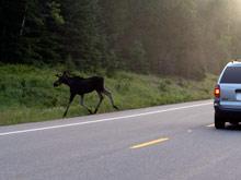 Opel сбил лося  в Свердловской области: пассажир и животное погибли